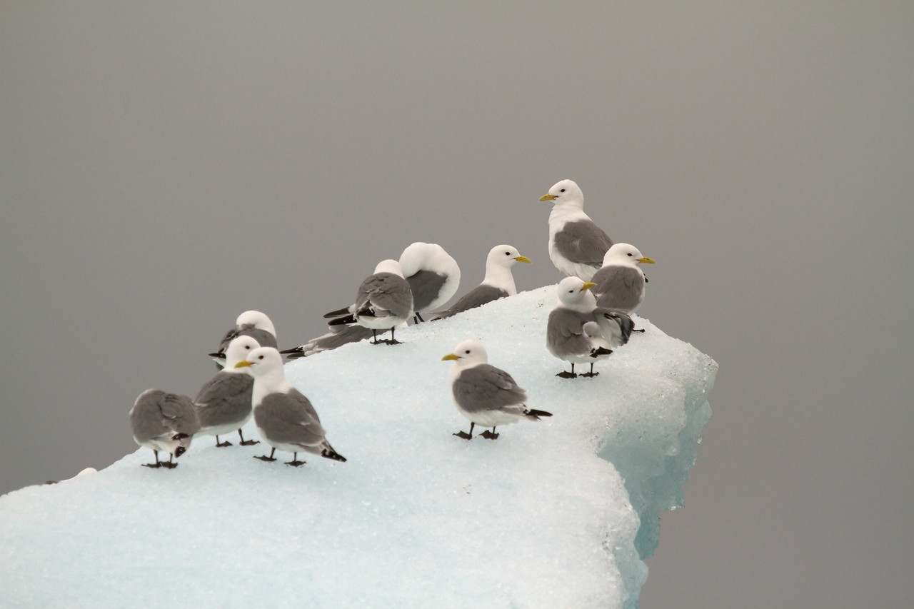 kittiwakes on iceberg