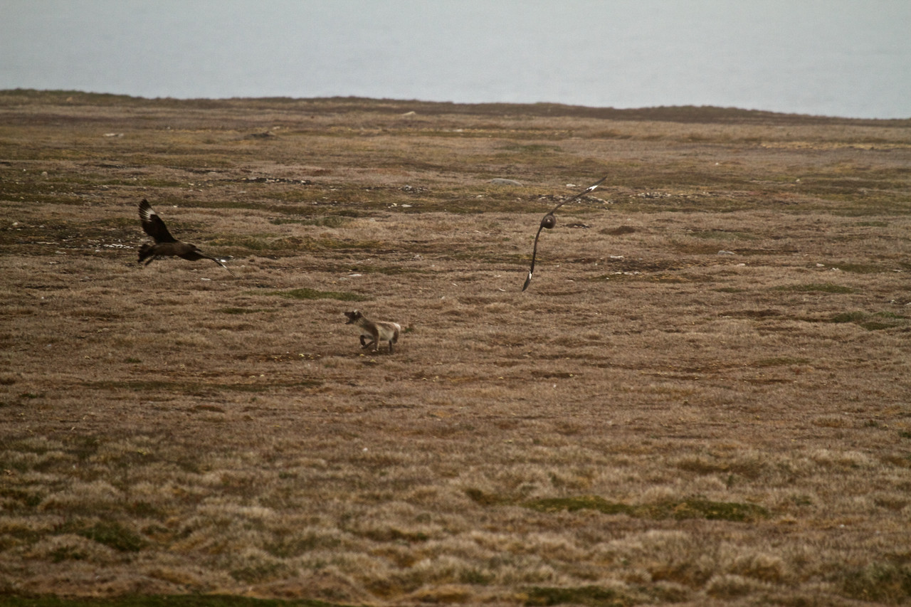 great skuas chasing arctic fox